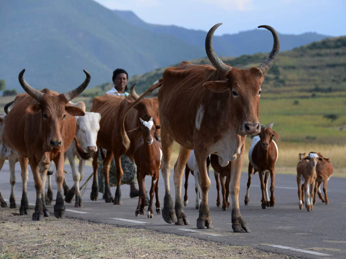 cattle-ethiopia-LIS 1624-1-photo-©-linetta-schneller-zenaye